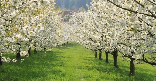 cherry-blossom-3340312_1920